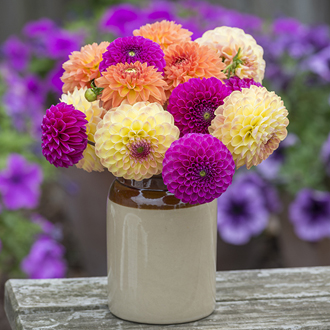 The Summer Sorbet Dahlia Collection