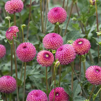 Dahlia Burlesca tuber