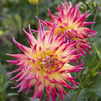 Dahlia 'Electric Flash'