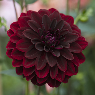 Dahlia 'Arabian Night'