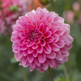 Dahlia Pink Runner tuber