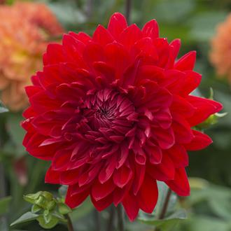 Dahlia Garden Wonder plant