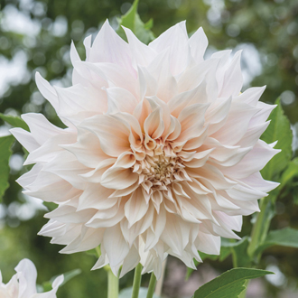 Dahlia Cafe au Lait Plants