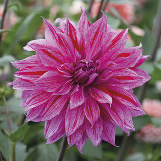 Dahlia Babylon Lilac Gevlamd plant