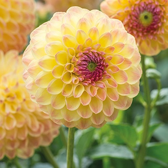 Dahlia 'Lakeland Autumn'