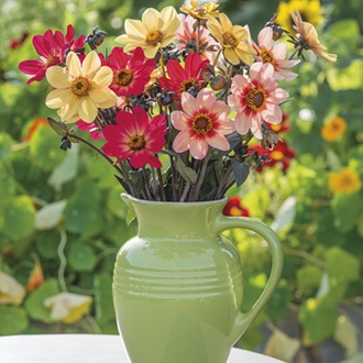 The Happy Dahlia Collection