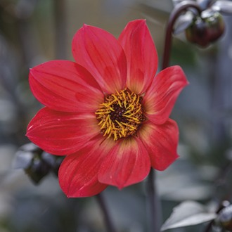 Dahlia Happy Single Flame