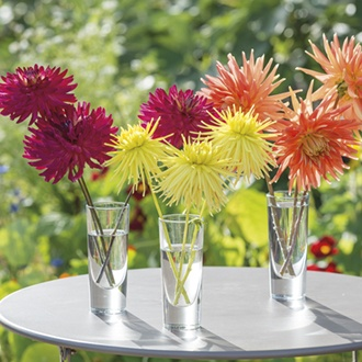 Dahlia Bountiful Collection