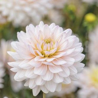 Dahlia Diana's Memory Plants