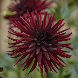 Dahlia Black Narcissus