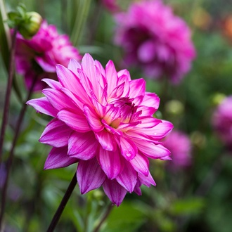 Dahlia Sweet Lady plant