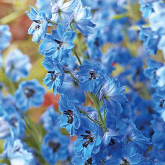 Delphinium Centurion Gentian Blue
