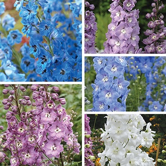 Delphinium Centurion Collection