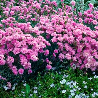 Dianthus plumarius Double Rose
