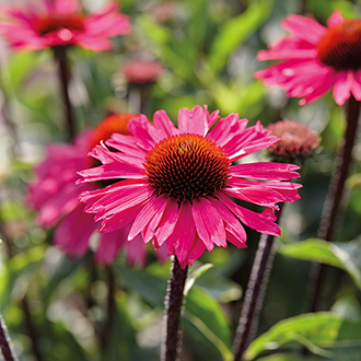Echinacea Sensation Pink Potted Plant