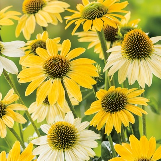 Echinacea purpurea Mellow Yellows