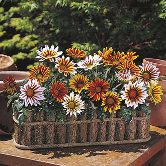 Gazania Daybreak Tiger Mixed F1
