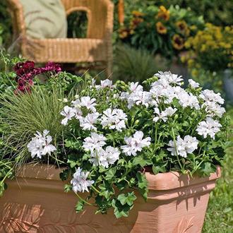 Pelargonium Precision Blanche Roche