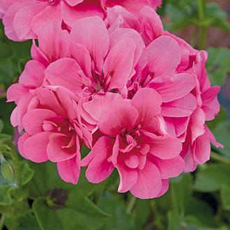Pelargonium Precision Rose