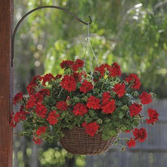 Pelargonium Precision Dark Red