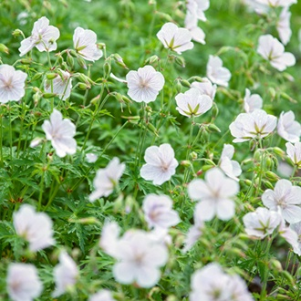 Geranium clarkei Kashmir White