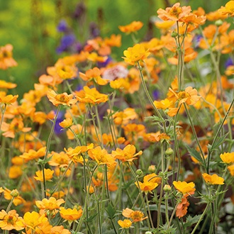 Geum 'Totally Tangerine'