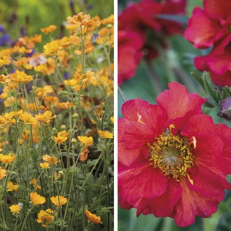 Geum Collection Potted Plants