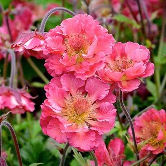 Geum Pink Petticoats