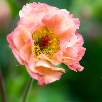 Geum Petticoats Peach