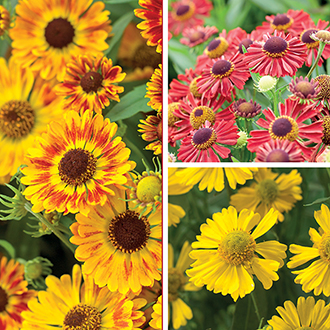 Helenium Mariachi™ Collection