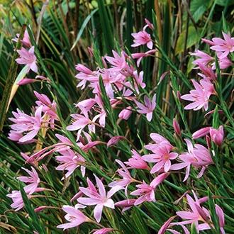 Hesperantha coccinea Viscountess Byng