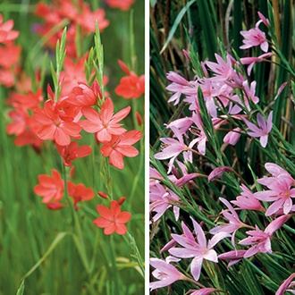 Hesperantha Collection