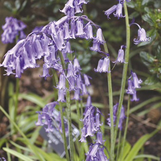 Hyacinthoides non-scripta (English Bluebell) Bulbs