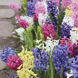 Hyacinth Garden Mixed bulbs