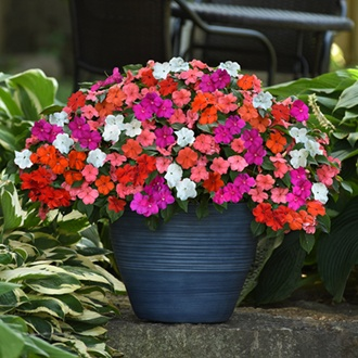Impatiens Beacon Mixed F1