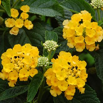 Lantana Calippo Yellow