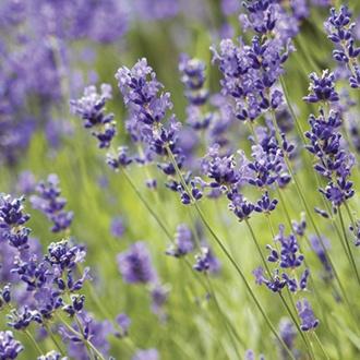 Lavender angustifolia Blue Scent