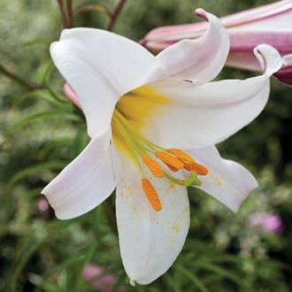 Lilium regale (Trumpet Lily)