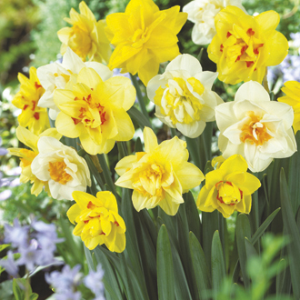 Narcissus Double Mixed Bulbs