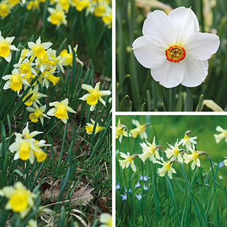 Narcissi Naturalising Collection