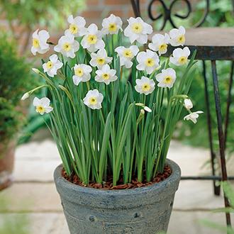Narcissus Segovia