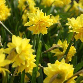 Narcissus Tête Bouclé