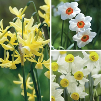 Narcissi Fragrant Collection