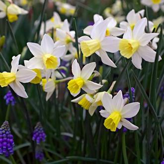 Narcissus Sailboat Bulbs