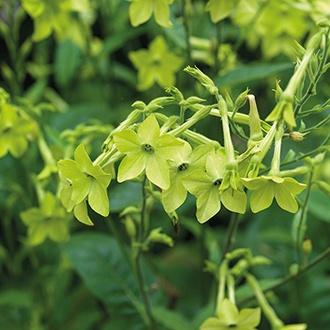 Nicotiana alata Lime Green