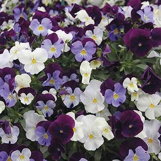 Pansy Cool Wave Berries 'n' Cream F1