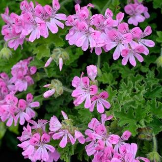 Pelargonium (Scented) Pink Capitatum