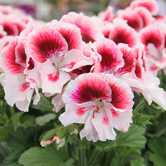 Pelargonium Elegance Tony