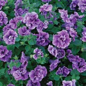 Petunia Tumbelina® Priscilla
