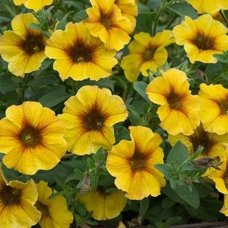 Petchoa Beautical Caramel Yellow